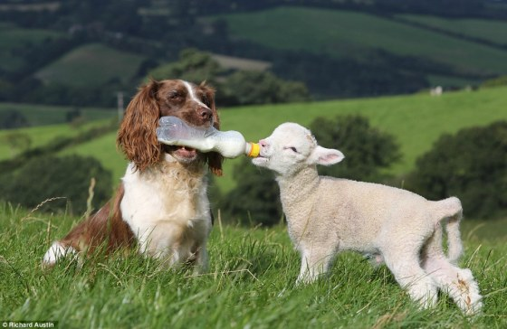 sheepdog-bottle-feeding-a-lamb