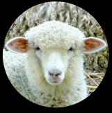 Christian-Sheep