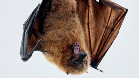 A fruit bat hangs on a perch at a zoo. © Reuters / Arnd Wiegmann